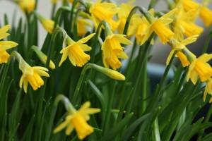 miniature_daffodils_188721